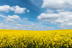 Yellow flowering rapeseed field and blue sky with white clouds Stock Image