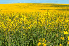 Yellow flowering rapeseed field landscape Stock Photo