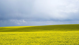 Yellow flowering rapeseed field Royalty Free Stock Photo