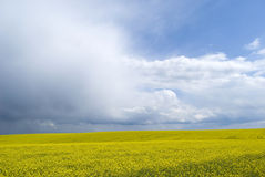 Yellow flowering rapeseed field Royalty Free Stock Photos