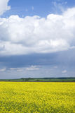 Yellow flowering rapeseed field Stock Photography