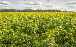 Yellow flowering rapeseed on a large Dutch field in the summer s. Backlit image of yellow flowering rapeseed on a large Dutch field in the summer season. The stock images