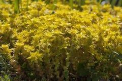 Yellow flowering Sedum acre Stock Photo