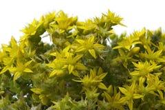 Yellow flowering Sedum acre Stock Photography