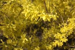Yellow flowering shrubs. In park stock image