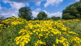 Yellow flowering tansy ragwort in the early summer season Stock Photos