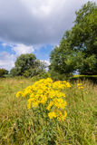 Yellow flowering tansy ragwort in the early summer season Stock Images