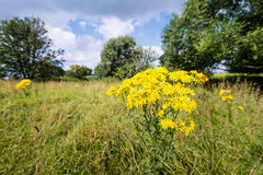 Yellow flowering tansy ragwort in the early summer season Royalty Free Stock Image