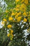 Yellow Flowering Tree or Shrub in Roath Park Royalty Free Stock Photos