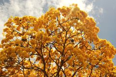 Yellow flowering tree Tabebuia chrysanta Araguaney. Tabebuia chrysantha Araguaney National Tree of Venezuela since being an emblematic native species of Stock Photos