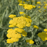 Yellow flowering yarrow Royalty Free Stock Photo