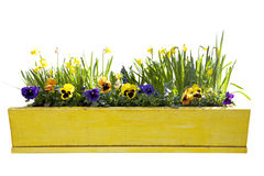 Yellow flowerpot with daffodils. Isolated over white background royalty free stock photo