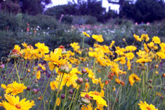 Yellow flowers. A field of yellow flowers stock photography