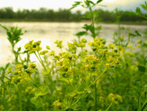Yellow Flowers. Close up of pretty yellow flowers, river in the background royalty free stock photos