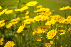 Yellow flowers. Field of pretty yellow flowers stock images