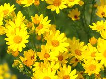 Yellow flowers Stock Images