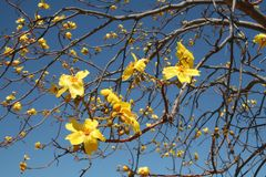 Yellow Flowers. Yellow native flowers sprayed on branches of the tree royalty free stock images