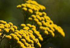 Yellow flowers. Bright yellow tansy flowers (Tanacetum vulgare royalty free stock photography