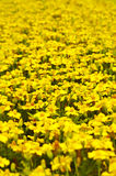 Yellow flowers. Flowerbed of yellow flowers. Yellow field Stock Photos