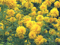 Yellow flowers. Growing in the garden Stock Photos