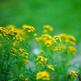 Yellow flowers Stock Image