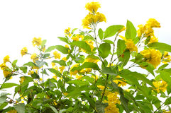 Yellow flowers. Plant against white background Stock Photos
