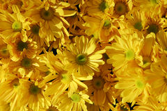 Yellow flowers Royalty Free Stock Photo