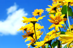 Yellow flowers. Against blue sky Stock Photos