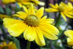 Yellow flowers Stock Photos