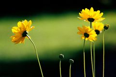 Yellow Flowers. Composition of yellow flowers with green belt of light Stock Photography