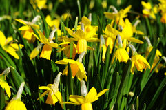 Yellow flowers. Group of yellow daffodil in spring time Royalty Free Stock Images