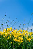 Yellow flowers. Growing in the field against clear blue sky Stock Images