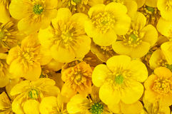 Yellow Flowers. Macro picture of very tiny yellow wild buttercups Royalty Free Stock Photo
