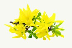 Yellow flowers. On a white background Royalty Free Stock Image