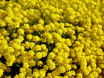 Yellow flowers. Numerous yellow flowers in a garden Stock Photo