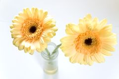 Yellow flowers. Two beautiful yellow flowers on white background Royalty Free Stock Images