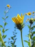 Yellow Flowers. Closeup of blooming yellow sun choke flower (Yellow Jerusalem Artichoke Flowers Stock Photo
