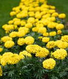 Yellow flowers. The bright, yellow flowers planted on the green strip of lawn. Their bright color is uplifting Stock Image