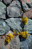 Yellow flowers. Growing through a crack on a rock Stock Image