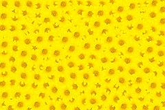 Yellow Flowers. A yellow Flowers create a background Stock Photos