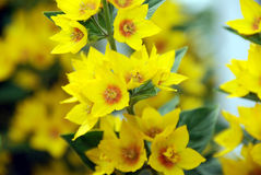 Yellow flowers. A close up of a bunch of small yellow flowers in full bloom on a branch royalty free stock image