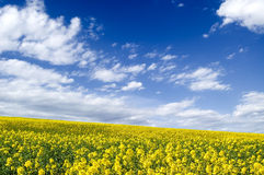 The yellow flowers. Royalty Free Stock Photography