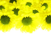 Yellow flowers Royalty Free Stock Photos
