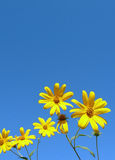 Yellow flowers. Blooming, blue sky as background Stock Photography