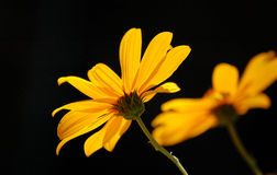 Yellow flowers. Wild yellow flowers blooming in autumn Stock Images