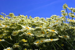 Yellow Flowers. A field of yellow flowers royalty free stock photos