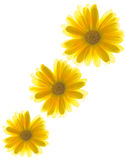 Yellow flowers. On white background stock image