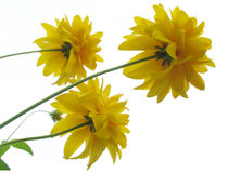Yellow flowers. On a white background Stock Image