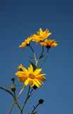 Yellow flowers. Against a blue sky Royalty Free Stock Images