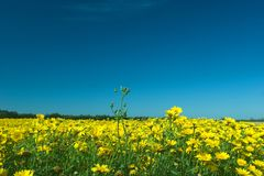 Yellow flowers. A field full of yellow flowers against a deep blue sky Royalty Free Stock Image